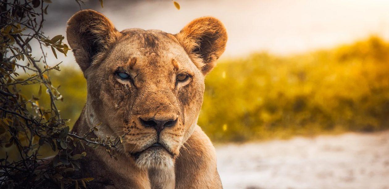 Destin de lionne